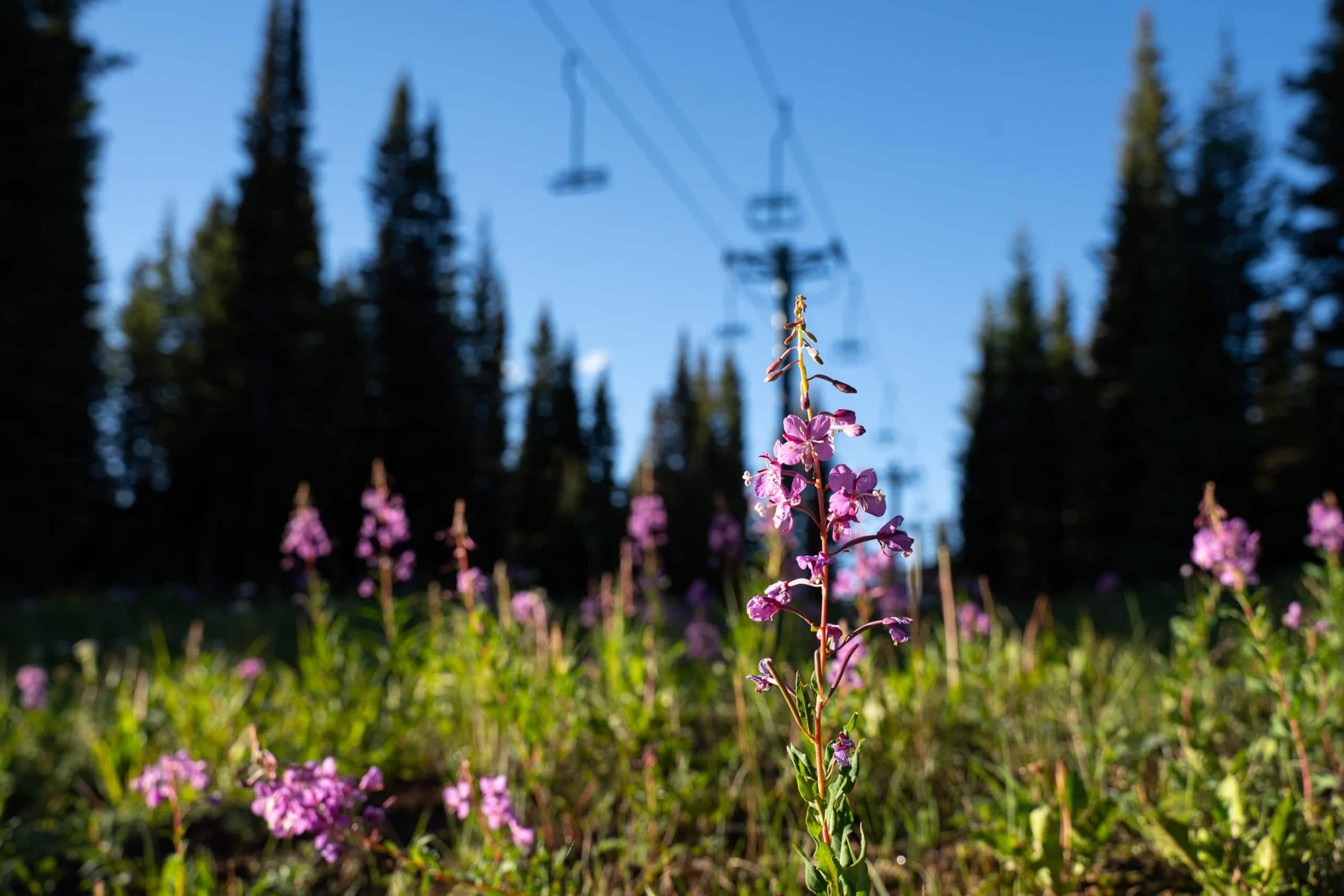 wildflowers scenic chairlift sunrise